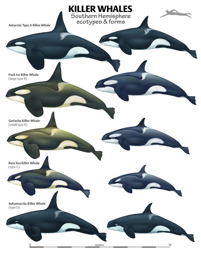 Orcinus orca - Species - Antarctic Field Guides