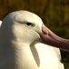 Diomedea exulans - Wandering albatross close-up - Yan Ropert-Coudert